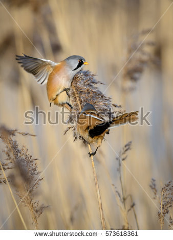 Bearded Reedling clipart #13, Download drawings