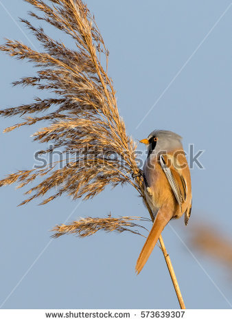 Bearded Reedling clipart #11, Download drawings