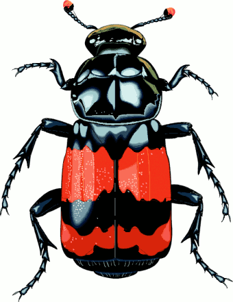 Beatle clipart #16, Download drawings