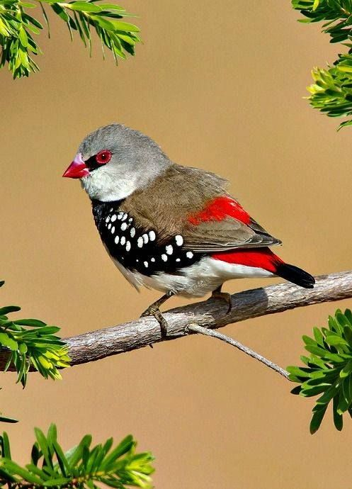 Beautiful Firetail clipart #9, Download drawings