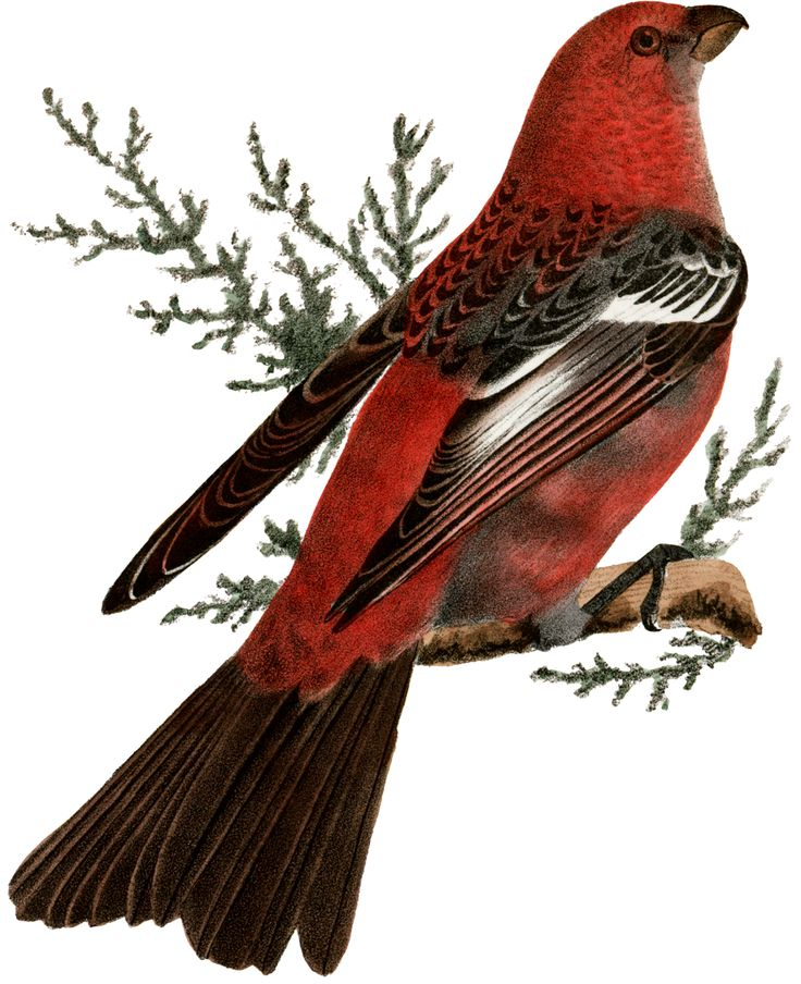 Beautiful Firetail clipart #6, Download drawings