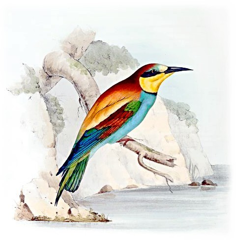 Bee-eater clipart #7, Download drawings
