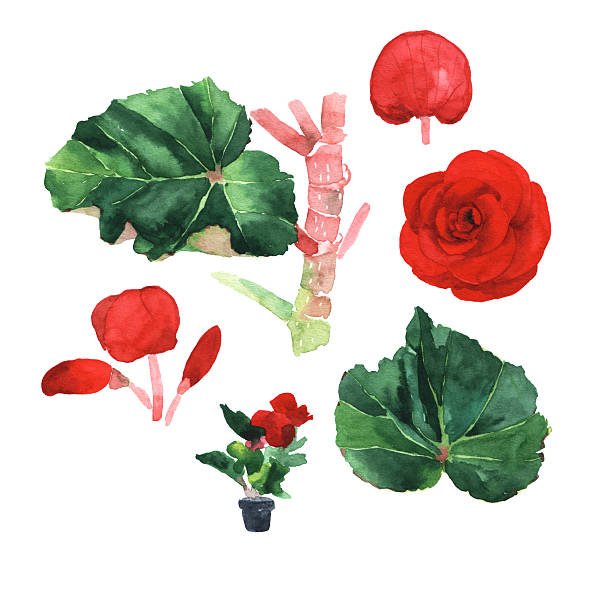 Begonia clipart #15, Download drawings