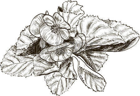 Begonia clipart #8, Download drawings