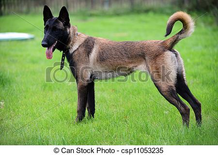 Belgian Malinois clipart #6, Download drawings