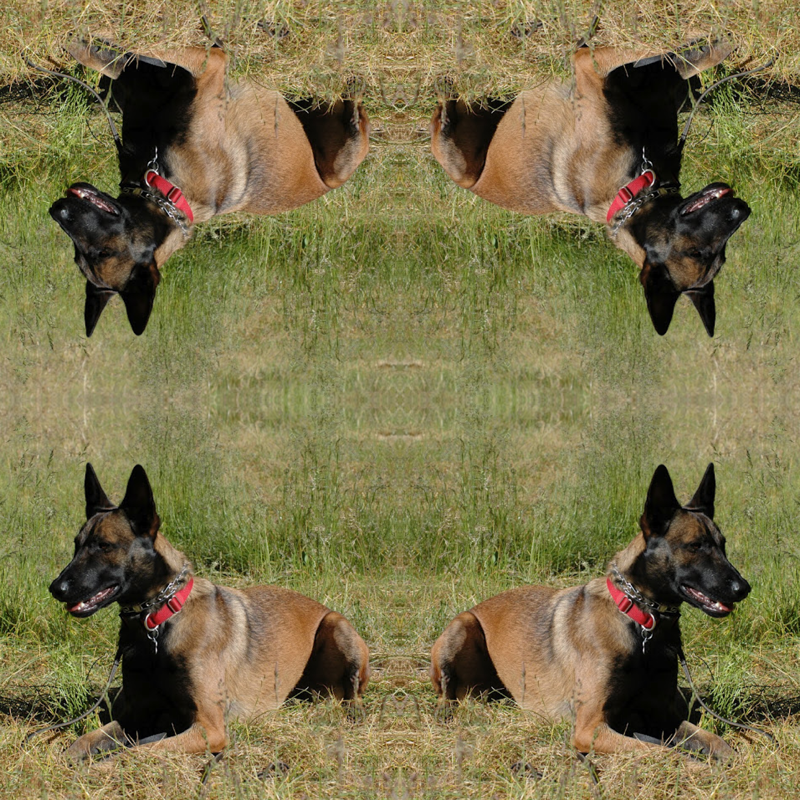 Belgian Malinois svg #17, Download drawings