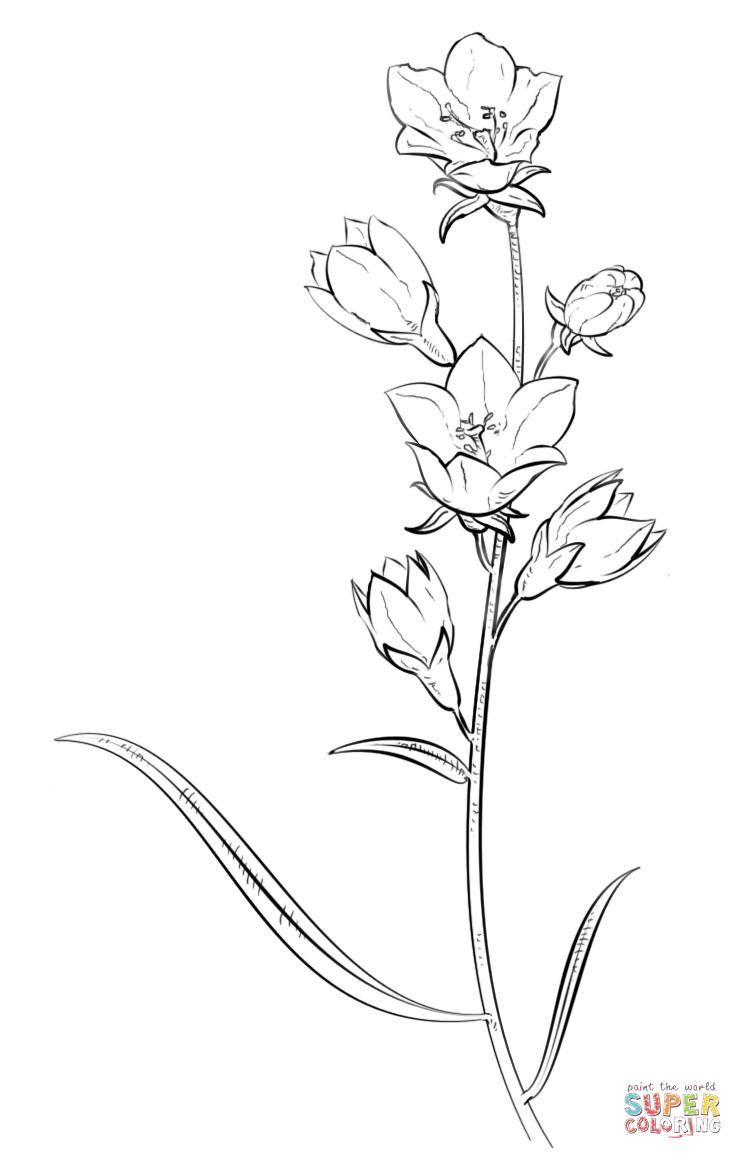 Bellflower coloring #11, Download drawings