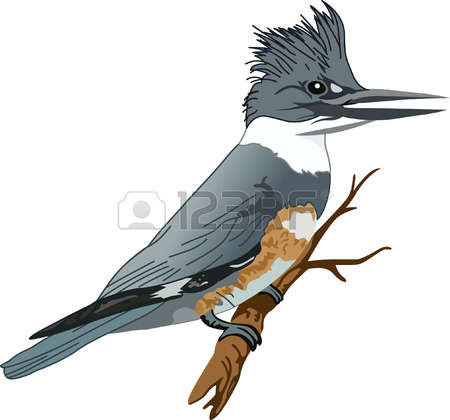 Belted Kingfisher clipart #12, Download drawings