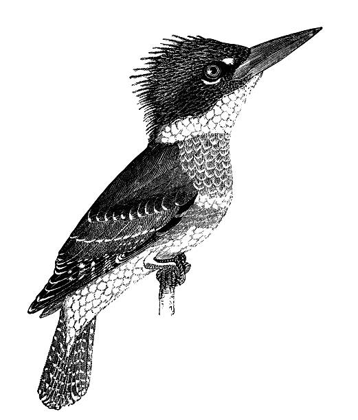 Belted Kingfisher clipart #17, Download drawings