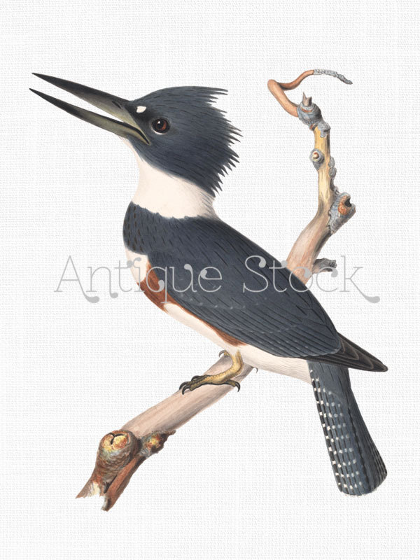 Belted Kingfisher clipart #15, Download drawings