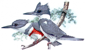 Belted Kingfisher clipart #5, Download drawings