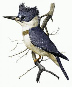 Belted Kingfisher clipart #6, Download drawings