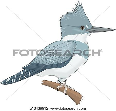 Belted Kingfisher clipart #14, Download drawings
