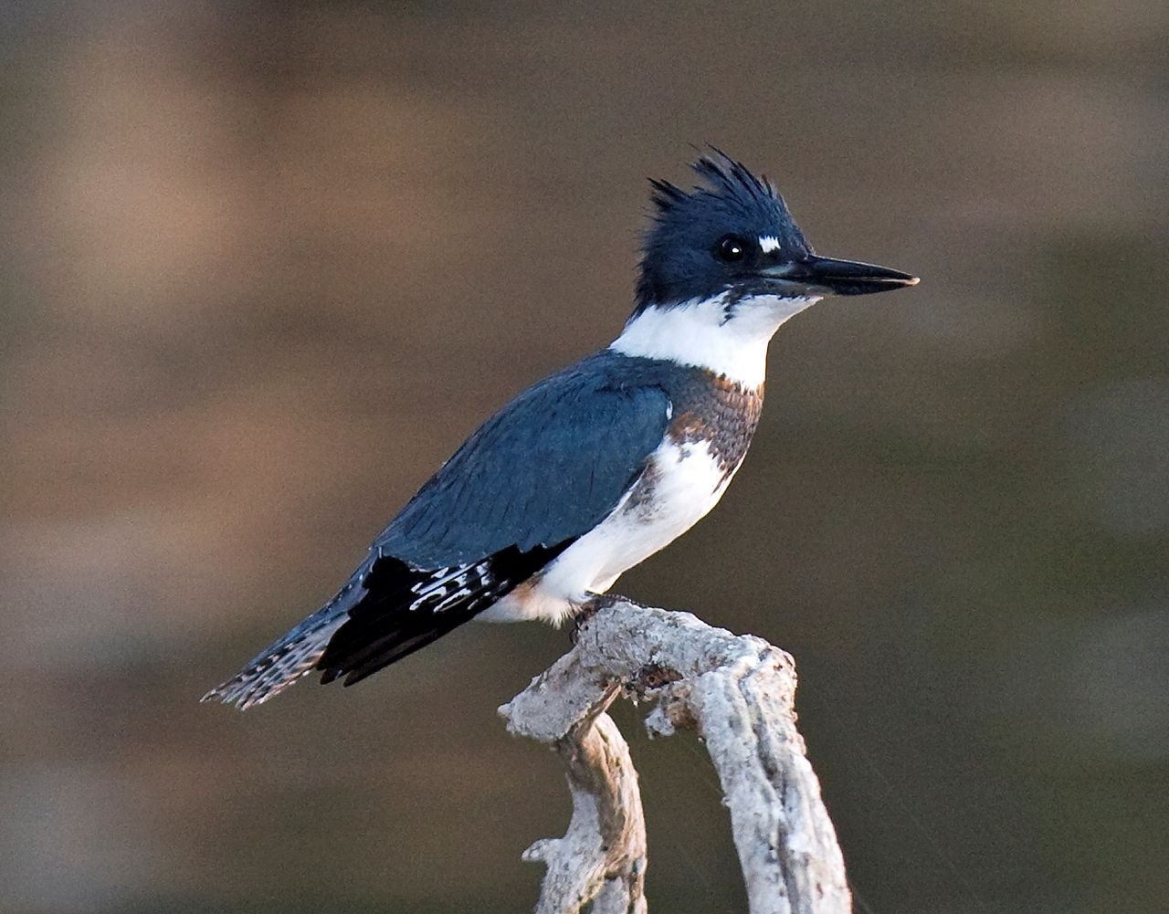 Belted Kingfisher svg #19, Download drawings