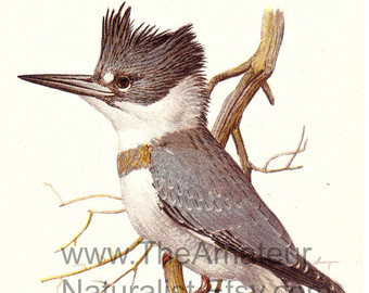 Belted Kingfisher svg #4, Download drawings