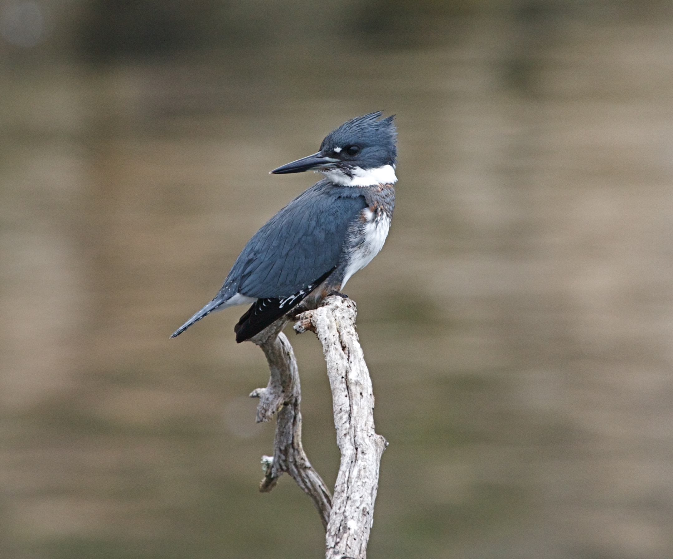 Belted Kingfisher svg #12, Download drawings