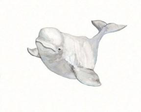 Beluga clipart #4, Download drawings