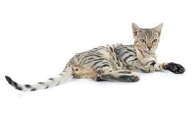 Bengal Cat clipart #5, Download drawings