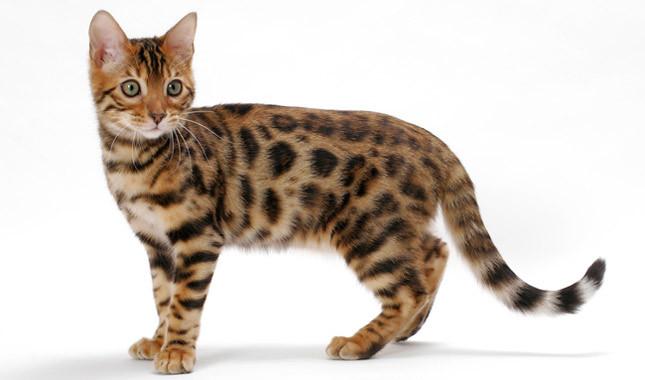 Bengal Cat clipart #17, Download drawings