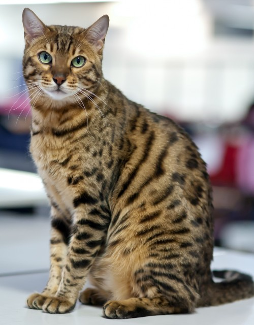 Bengal Cat clipart #4, Download drawings