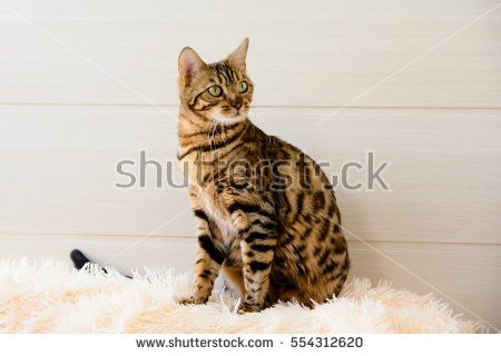 Bengal Cat clipart #7, Download drawings
