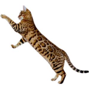 Bengal Cat clipart #18, Download drawings