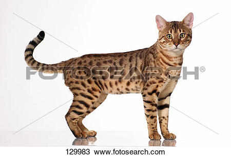 Bengal Cat clipart #13, Download drawings