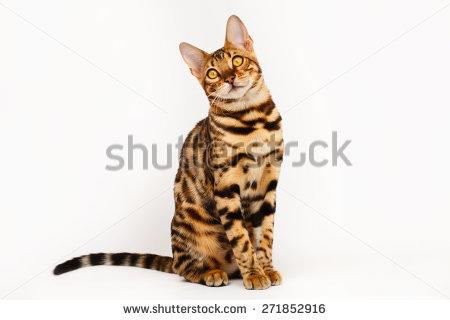 Bengal Cat clipart #14, Download drawings