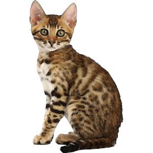 Bengal Cat clipart #10, Download drawings