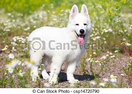 Berger Blanc Suisse clipart #9, Download drawings