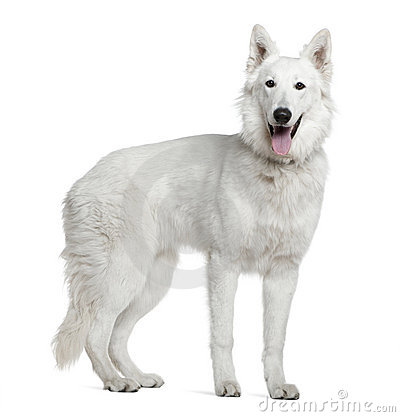 Berger Blanc Suisse clipart #11, Download drawings