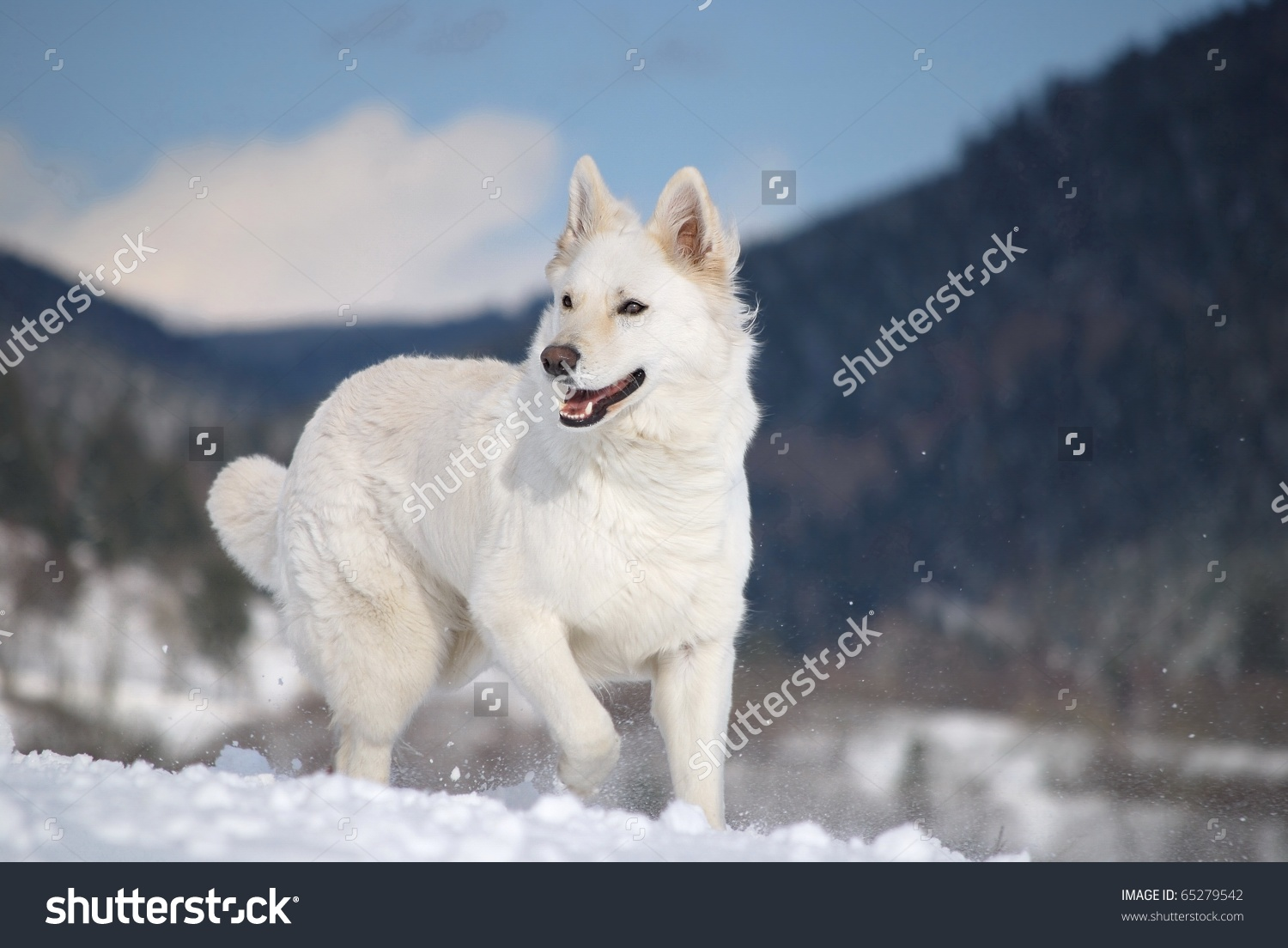 Berger Blanc Suisse clipart #4, Download drawings