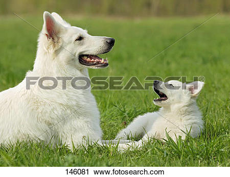 Berger Blanc Suisse clipart #14, Download drawings