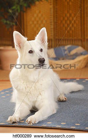 Berger Blanc Suisse clipart #16, Download drawings