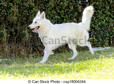 Berger Blanc Suisse clipart #10, Download drawings