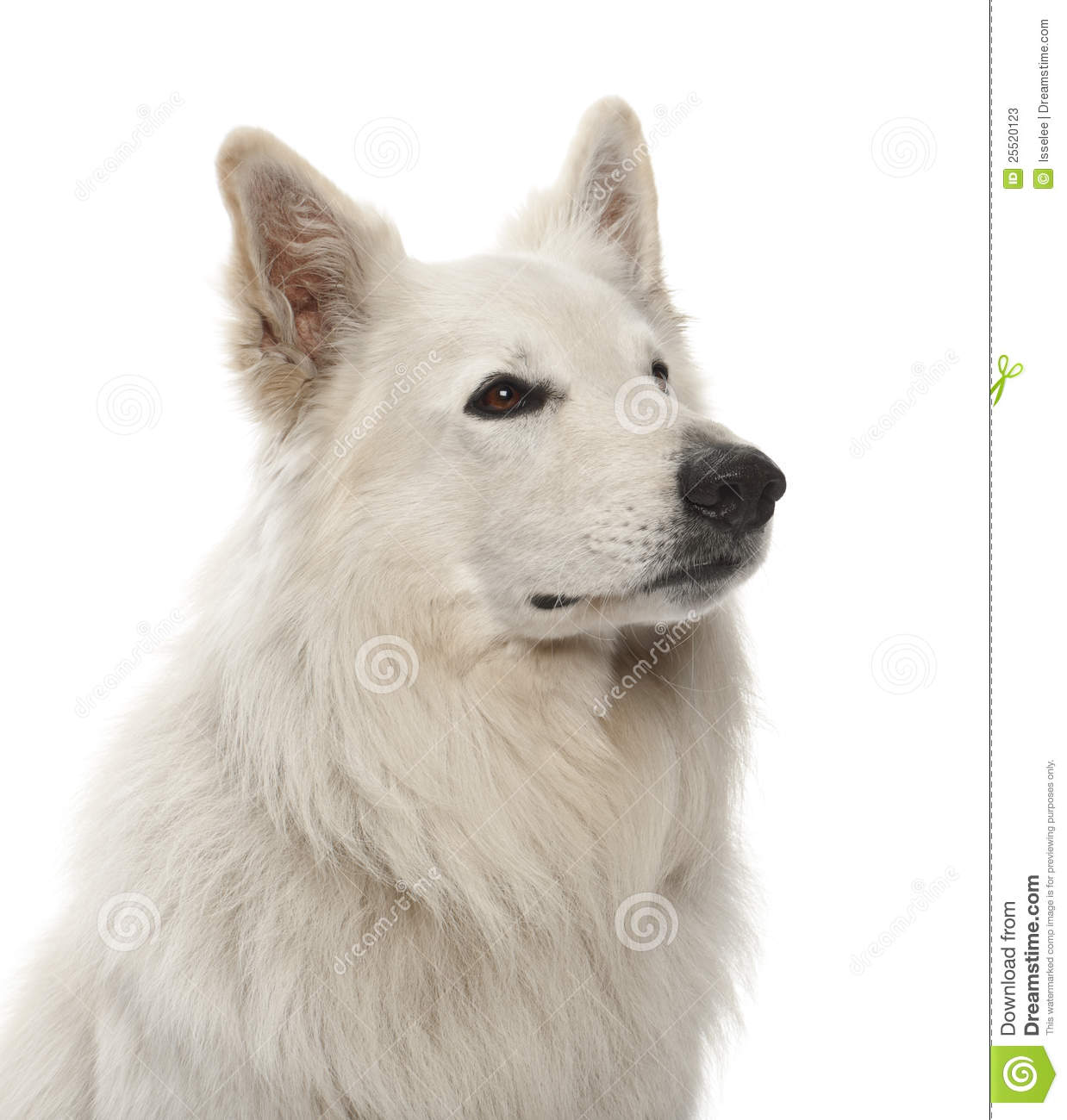 Berger Blanc Suisse clipart #13, Download drawings
