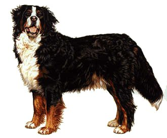 Bernese Mountain Dog clipart #14, Download drawings