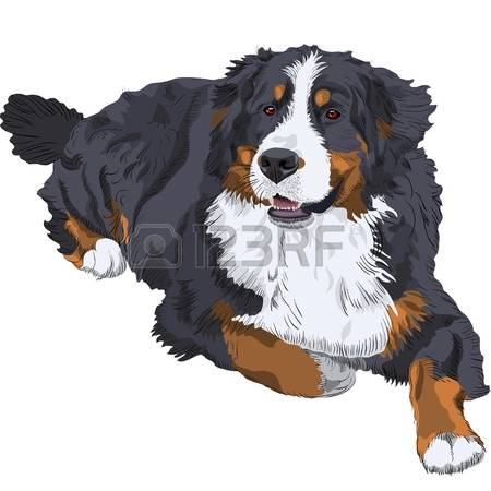 Bernese Mountain Dog clipart #2, Download drawings