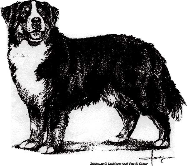 Bernese Mountain Dog coloring #16, Download drawings