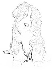 Bernese Mountain Dog coloring #11, Download drawings