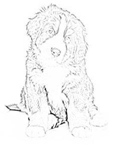 Bernese Mountain Dog coloring #11, Download drawings