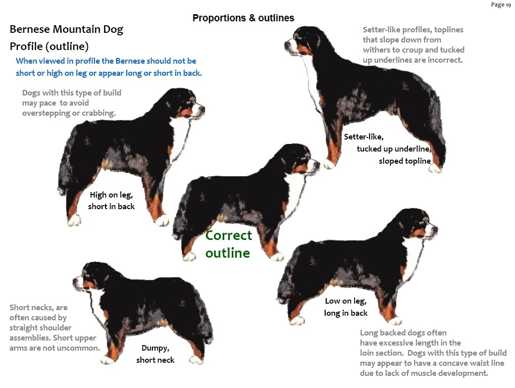 Bernese Mountain Dog coloring #15, Download drawings