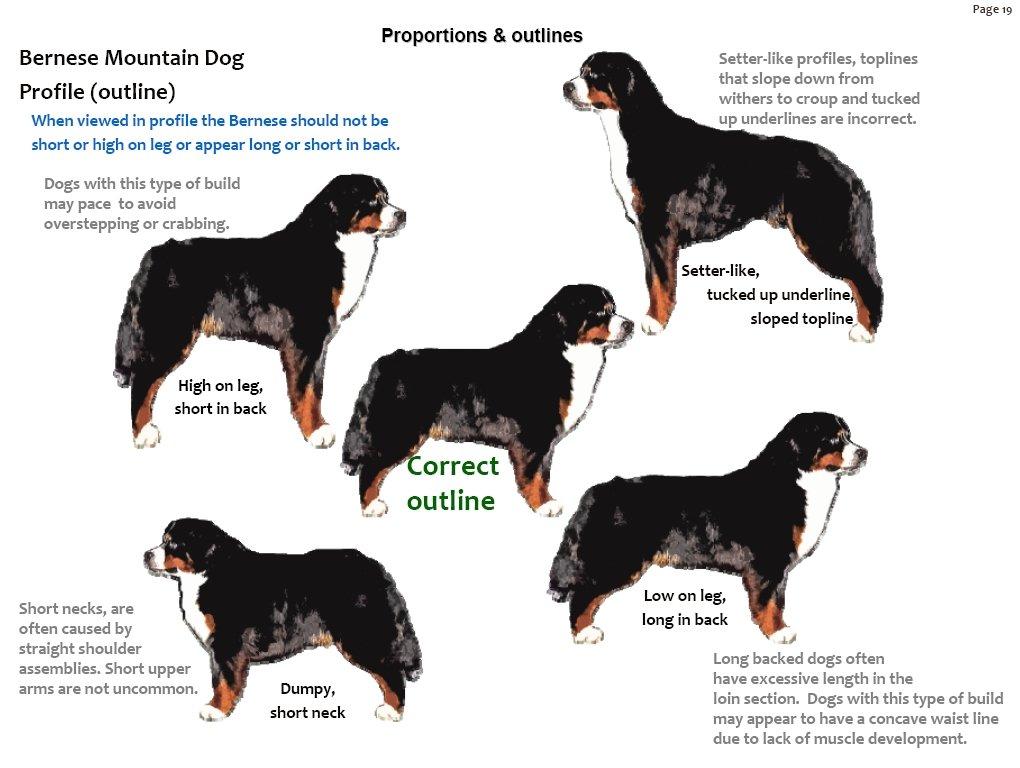 Bernese Mountain Dog coloring #15, Download drawings