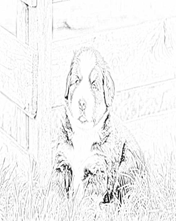 Bernese Mountain Dog coloring #20, Download drawings