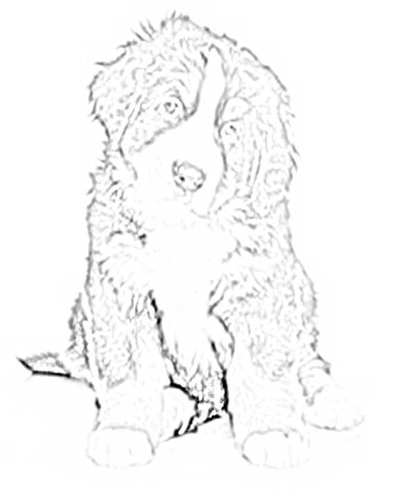 Bernese Mountain Dog coloring #3, Download drawings