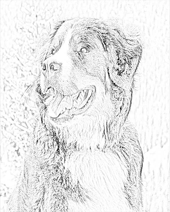 Bernese Mountain Dog coloring #19, Download drawings