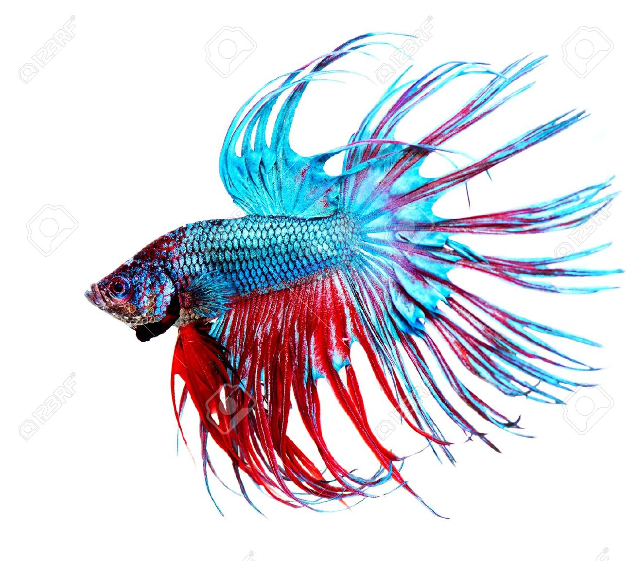 Betta clipart #11, Download drawings