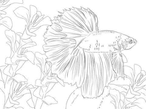 Betta coloring #18, Download drawings