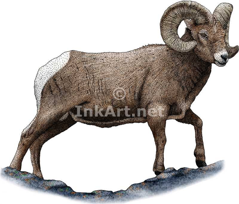 Bighorn Sheep coloring #14, Download drawings