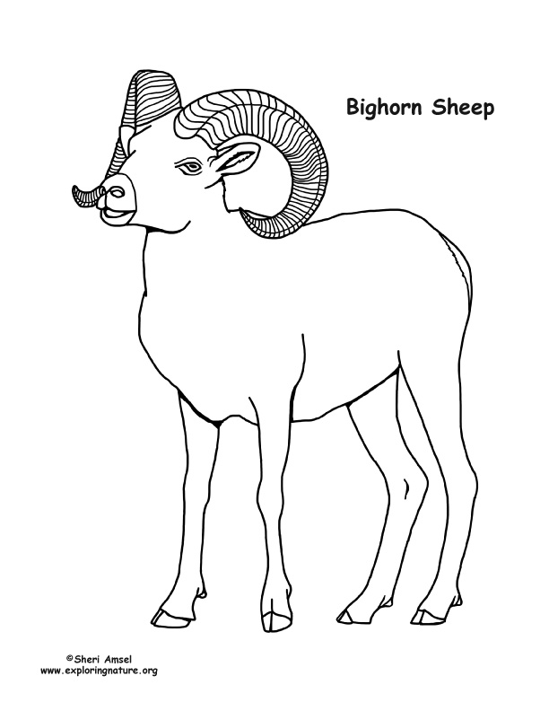 Bighorn Sheep coloring #3, Download drawings